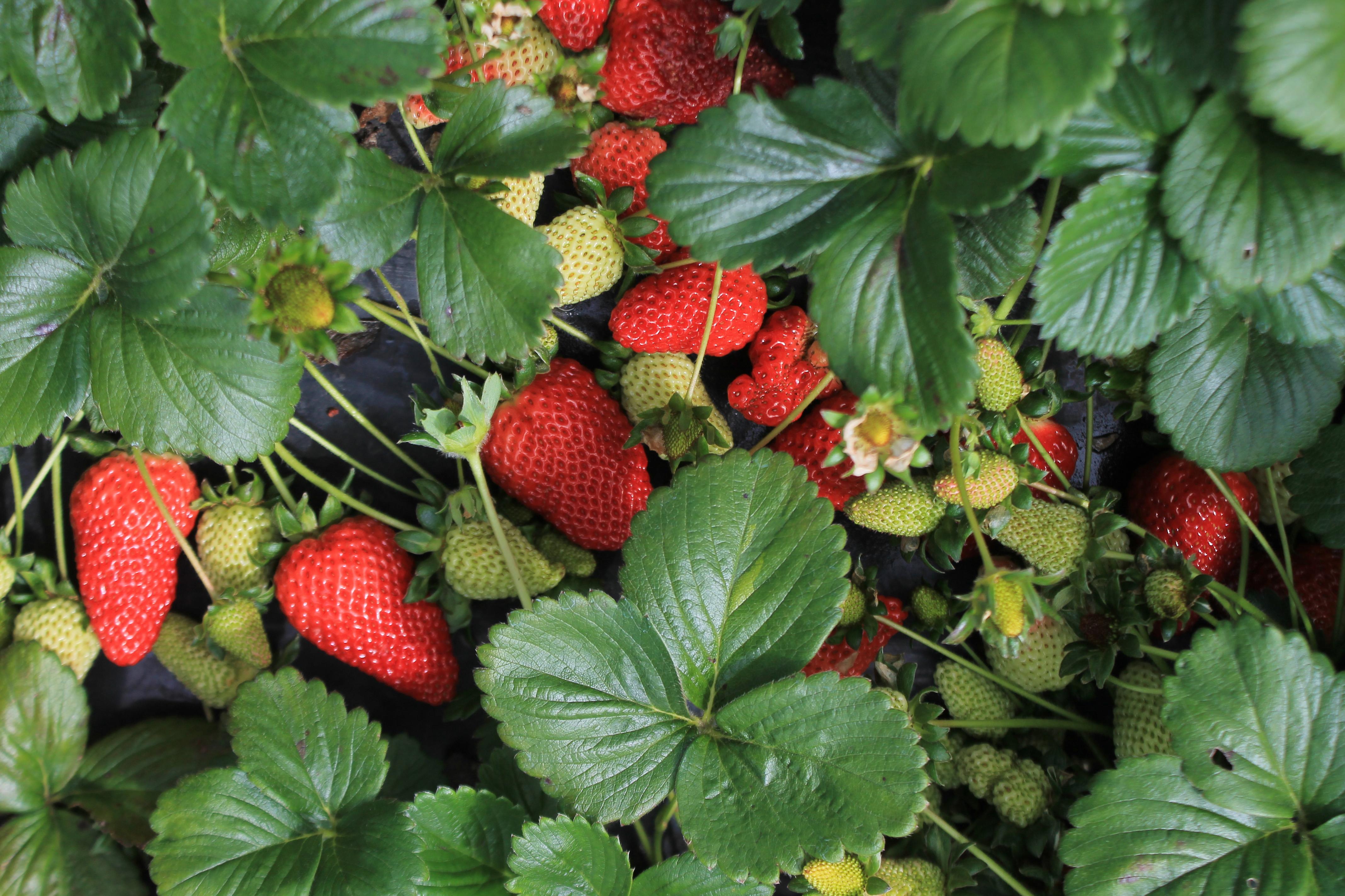 Portada Frutillas o Fresas
